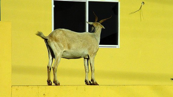 Peeping_tom_goat