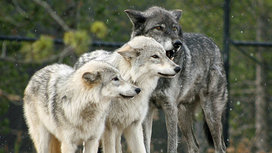 Wolf_pack