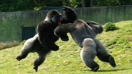 Apes_fighting