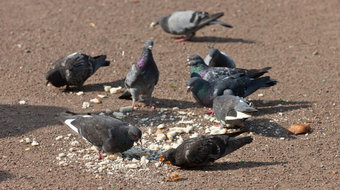 Pigeons are Good at Math, Alas