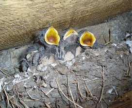 File_nest%20huiszwaluw.jpg%20-%20wikimedia%20commons