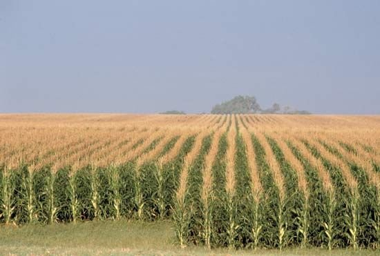 Rows_of_corn