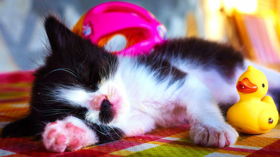 Sleeping_kitten