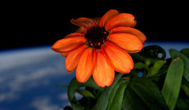 A_zinnia_blooms_in_space