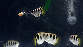 Archerfish-face-