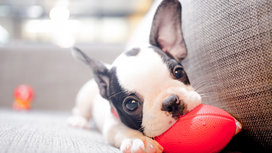 Puppy-and-football