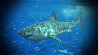 Study: Great white sharks will be swimming in British waters by 2050