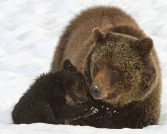 Blaze and cub, courtesy YellowstoneGate