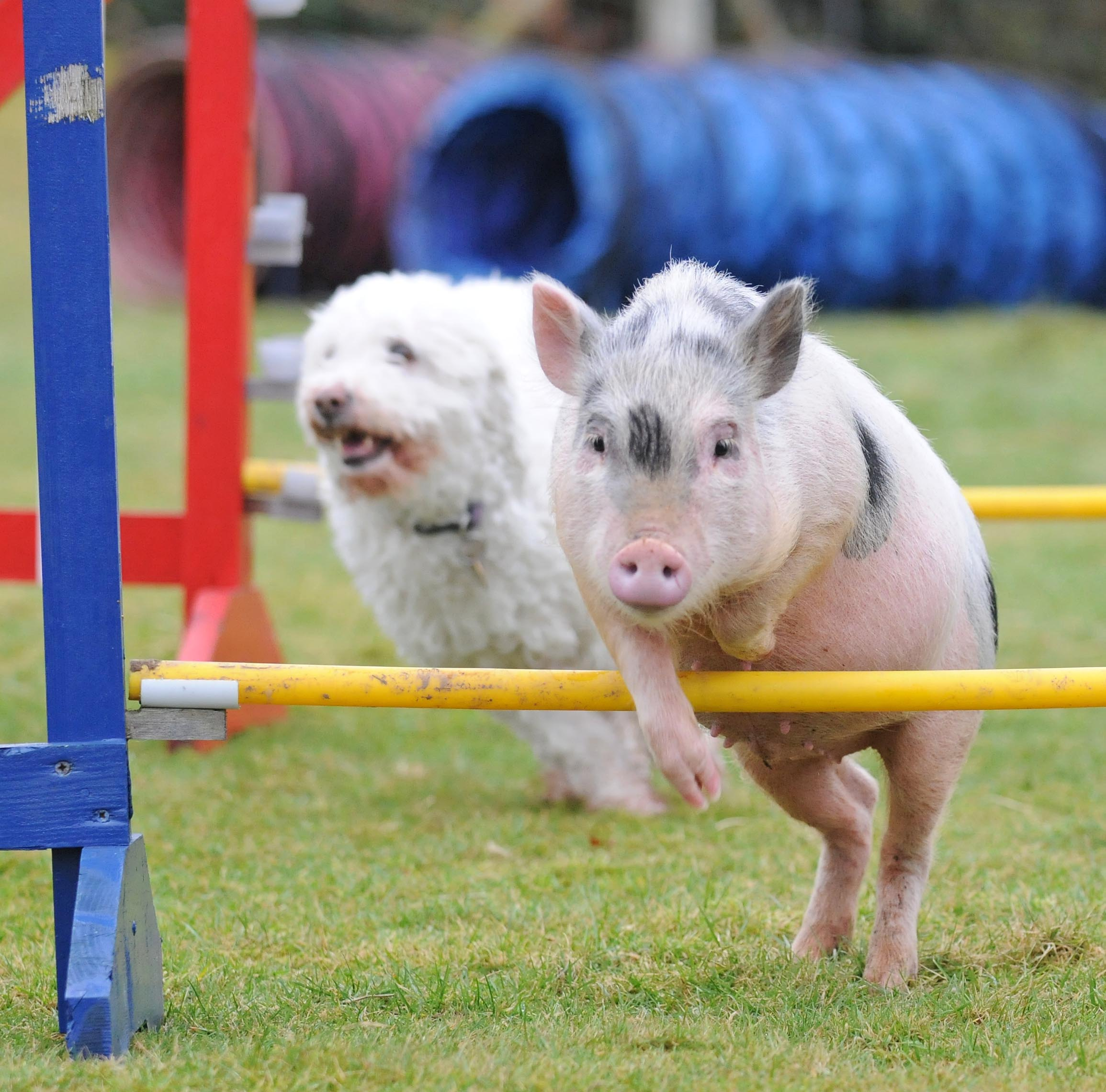 Pigs outsmart dogs
