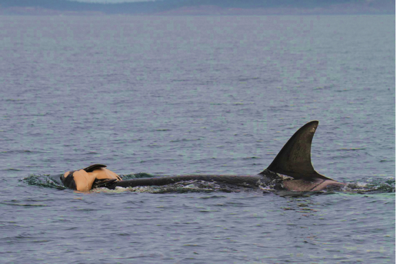 orca carries calf