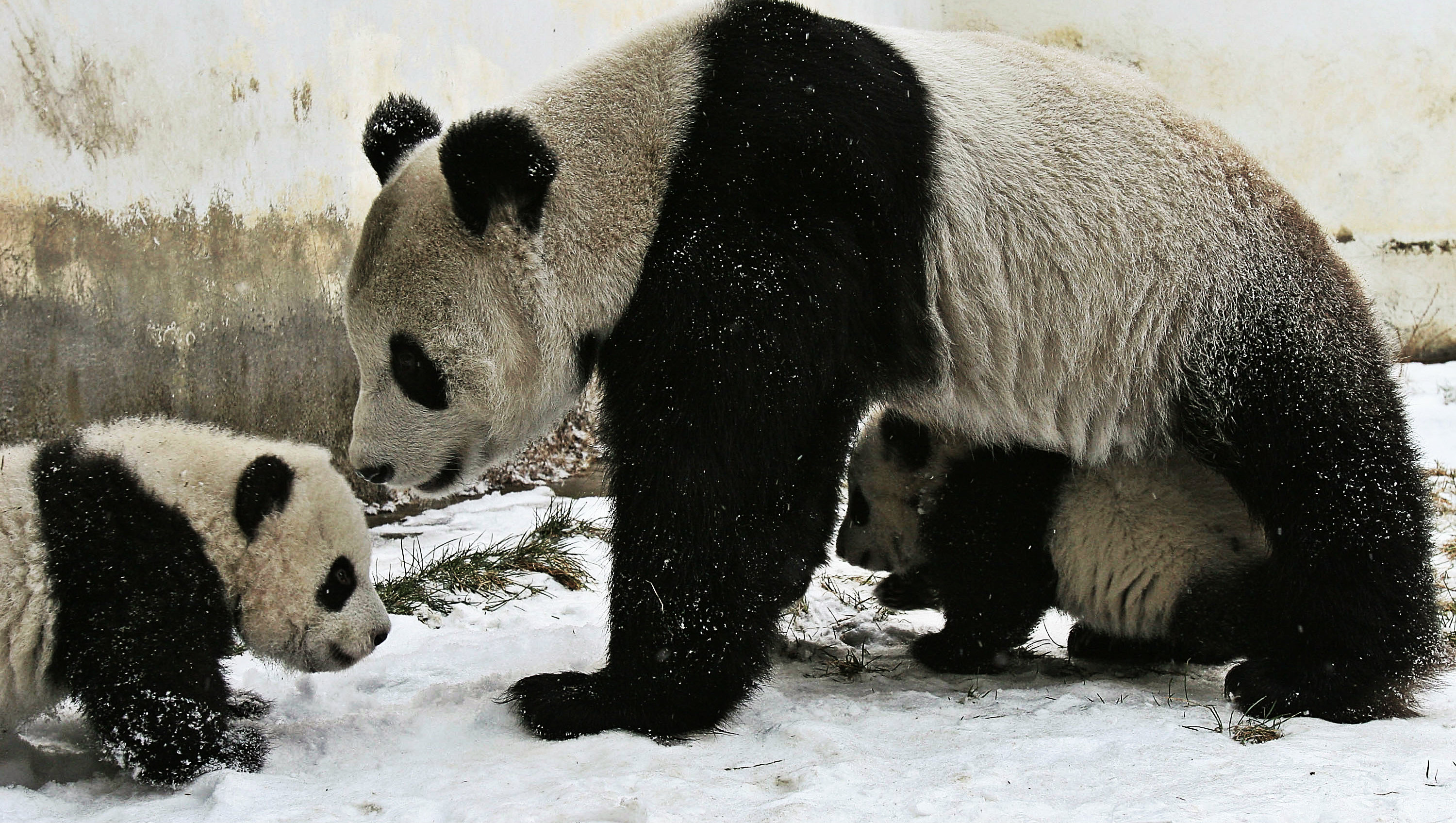 Researchers Care Panda At The Wolong Giant Panda Bear Research Center (Photo by China Photos/Getty Images)
