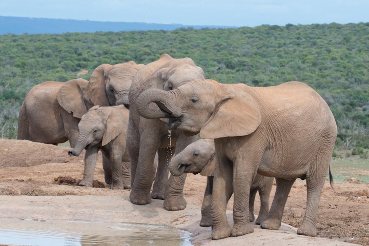 more elephants are being born tuskless thanks to poaching feedbox
