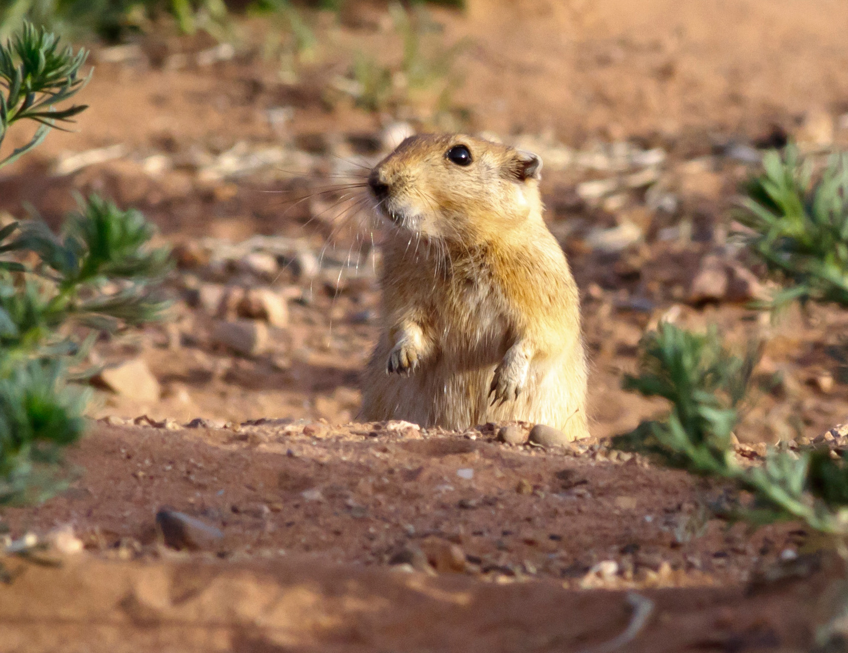 Genetic engineering wikipedia - Researchers In A Recent Study Found That Sand Rats Have Dark Dna Wikipedia Commons